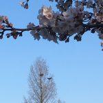 桜とカラスの競演