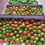 緑色ミニトマトは、だんだん赤く色づく