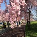 しだれ桜満開 ~喜多方~