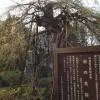 杉の糸桜満開直前
