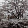 雪と桜の競演