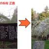 杉の糸桜満開