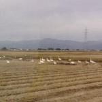 白鳥の落ち穂拾い