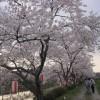 夏井の千本桜